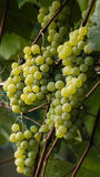 Green grapes ready for harvest and winemaking Royalty Free Stock Photography