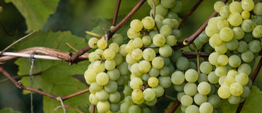 Green grapes ready for harvest and winemaking Stock Photography