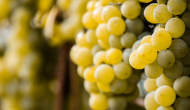 Green grapes ready for harvest and winemaking Stock Photos