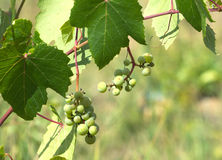 Green grapes ripen on branch of the vine on hot su Stock Photo