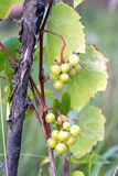 Green grapes ripen on branch of the vine on hot summer day Royalty Free Stock Photography