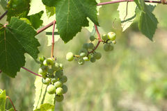 Green grapes ripen on branch of the vine on hot summer day Stock Images