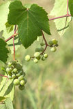 Green grapes ripen on branch of the vine on hot summer day Royalty Free Stock Photo