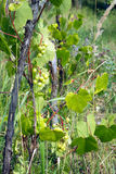 Green grapes ripen on branch of the vine on hot summer day Royalty Free Stock Images