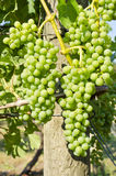Green Grapes Ripening on the Vine Stock Image
