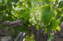 Green grapes ripening in a vineyard. In Mallorca, Spain Royalty Free Stock Photography