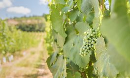 Green grapes ripening in vineyard in summer royalty free stock image