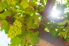Green grapes in the sun. Stock Photo