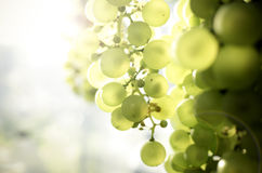 Sunshine on green grapes Stock Images