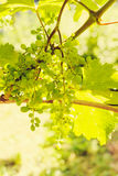 Green grapes in sunny vineyard Stock Images