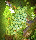 Green Grapes, Temecula, California. Small green grapes hang on the vine in the wine country of the Temecula Valley in Riverside County, Southern California, a Stock Photos