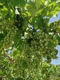 Green grapes. A texture of green grapes in my garden royalty free stock photos