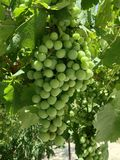Green grapes. A texture of green grapes in my garden royalty free stock photography