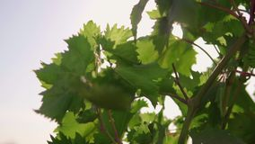 Green grapes, unripe. Grape leaves. sun flare stock video footage