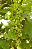 Green grapes on vine Stock Photos