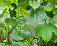 Green Grapes on the Vine Stock Photo