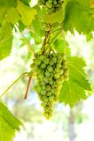 Green grapes on vine. In direct sunlight Royalty Free Stock Photography