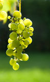 Green Grapes on Vine Royalty Free Stock Photos