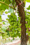 Green Grapes on the vine Stock Image