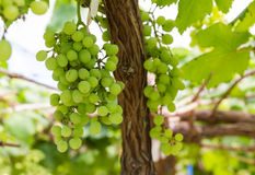 Green Grapes on the vine Stock Images