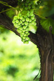 Green grapes on vine Stock Images