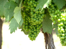 Green grapes. On the vine Royalty Free Stock Photo