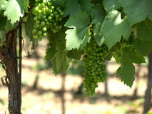 Green grapes. On the vine Stock Photo