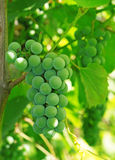 Green grapes on the vine Royalty Free Stock Photography