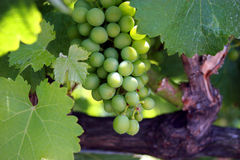 Green Grapes on the Vine. Close up view of some green grapes on the vine stock image