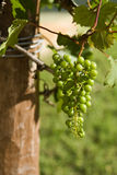Green Grapes on the Vine Royalty Free Stock Photo