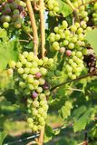 Green grapes in vine Royalty Free Stock Photo