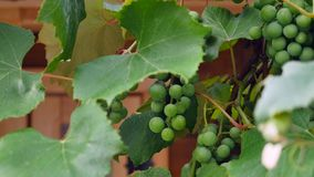 Green grapes on vine close up stock video