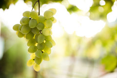 Green grapes on vine Stock Photography