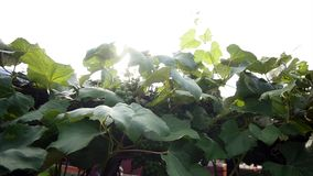 Green grapes on vine close up stock video footage