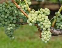 Green Grapes on the Vine. Close up view of some green winemaking grapes on the vine Stock Image