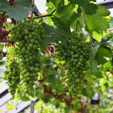 Green grapes on vine Stock Photo
