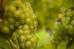 Green grapes on vine, macro Royalty Free Stock Image