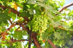 Green grapes on vine Stock Photos