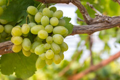 Green grapes. On vine with soft background Royalty Free Stock Photo