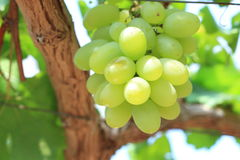 Green grapes on vine sunset time Royalty Free Stock Images