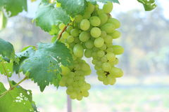 Green grapes on vine sunset time Royalty Free Stock Photos