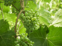 Green grapes on vine Stock Image