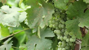 Green grapes on the vine sway. HD stock footage