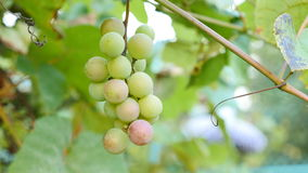 Green grapes on the vine stock video
