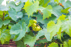 Green grapes on the vine. White grapes hanging from lush green vine with blurred vineyard background Royalty Free Stock Images