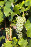 Green grapes in vineyard Royalty Free Stock Photo