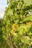 Green grapes in a vineyard Stock Photography