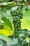 Green grapes in a vineyard. Green species of grapes growing in a vineyard Stock Photos