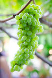 Green grapes at the vineyard. Stock Photography