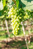 Green Grapes in Vineyard Stock Image